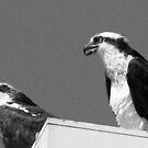 Osprey`s in b & w by jozi1