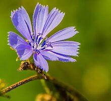 Chicory by Mary Carol Story