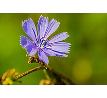 Chicory Photographic Print