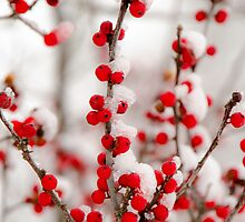 Red Berries in Winter by Mary Carol Story