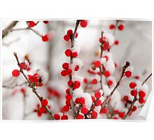 Red Berries in Winter Poster