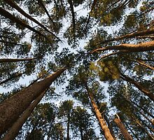 Looking up through pine forest by Daniel Pertovt