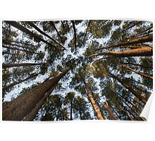 Looking up through pine forest Poster
