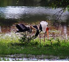 MALE STORK ♥ROMANCING THE FEMALE PAINTED STORK♥-VERSION THREE-THATS AMORE-- VARIOUS APPAREL by ✿✿ Bonita ✿✿ ђєℓℓσ