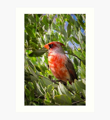 Southwestern Cardinal in Tucson Art Print