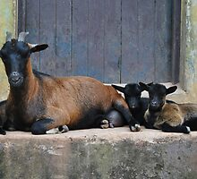 Dwarf Goat with Kids by ampmedia7