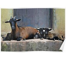 Dwarf Goat with Kids Poster