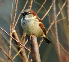 Perching Sparrow Sticker