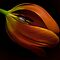 May Avatar ~ If You Were A Tulip
