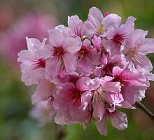 Cherry blossoms in the sun by Celeste Mookherjee