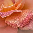 Rose petals in the rain by Celeste Mookherjee