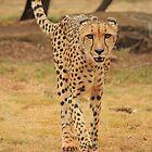 Cheetah... by Chris Kean