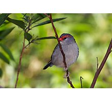Red-browed Finch Photographic Print