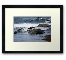 Sooty Oystercatcher On The Hunt Framed Print