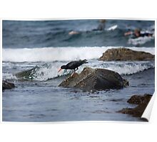 Sooty Oystercatcher On The Hunt Poster
