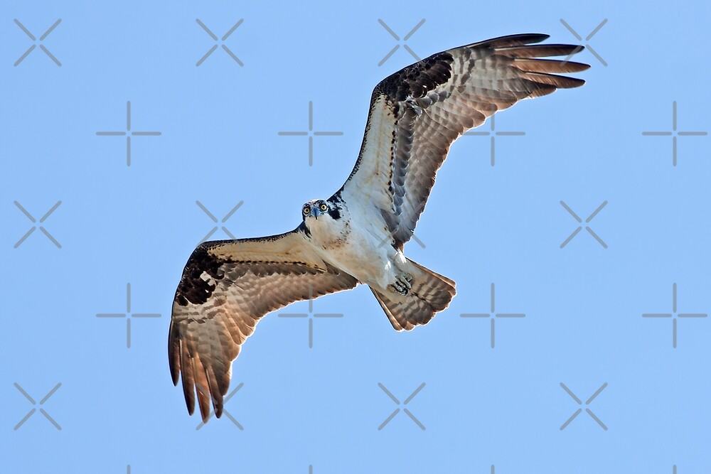 With eyes open - Osprey by Jim Cumming