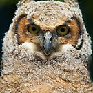 Great Horned owlet by Jim Cumming