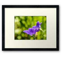 A Pair of Purple Balloon Flowers Framed Print
