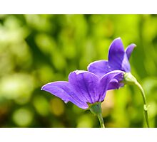 A Pair of Purple Balloon Flowers Photographic Print