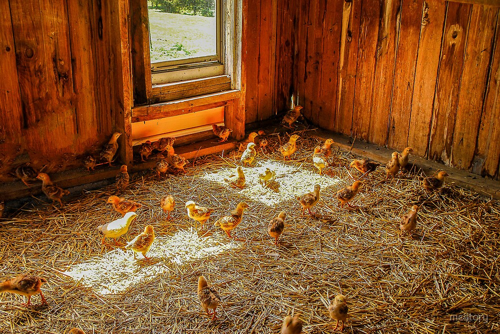 Baby Chicks by mcstory