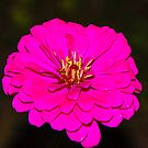 Pink Zinnia 2 by mcstory