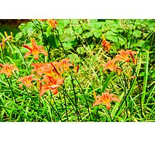 Daylilies - Tiger Lilies Photographic Print