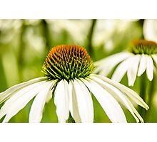 White Coneflower Photographic Print