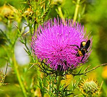 Thistle And Bee by mcstory