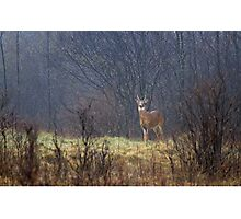 Sentry - White-tailed deer Photographic Print