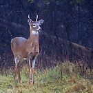 Young Royalty - White-tailed deer by Jim Cumming