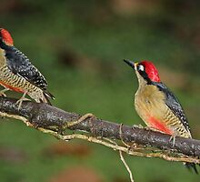 Pair of Black-Cheeked Woodpeckers by hummingbirds