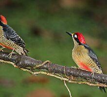 Pair of Black-Cheeked Woodpeckers by hummingbirds