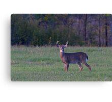 September Deer - White-tailed deer Canvas Print