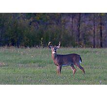 September Deer - White-tailed deer Photographic Print