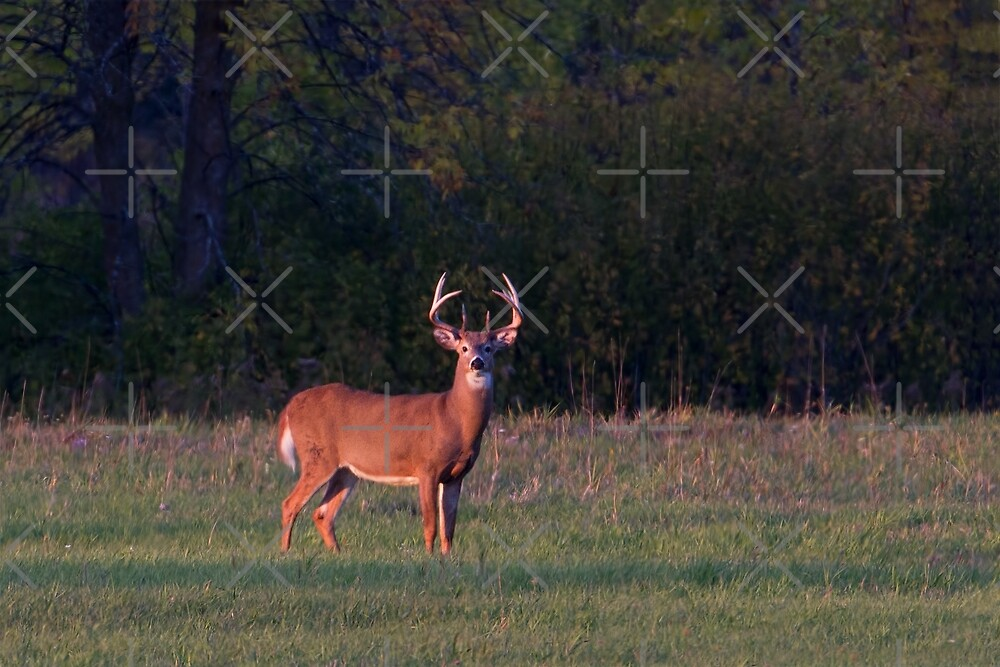 Deer in the Meadow - White-tailed deer by Jim Cumming