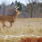 Deer Run - White-tailed deer by Jim Cumming