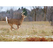 Deer Run - White-tailed deer Photographic Print
