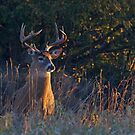 Morning Breath - White-tailed deer by Jim Cumming