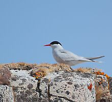 Antarctic Tern In The Rookery by Carole-Anne