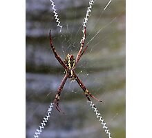 St Andrew's Cross Spider (2) Photographic Print