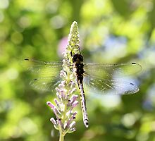 Dragonfly (3) by LeJour