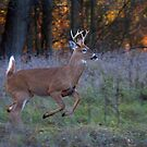 Scent of a Doe - White-tailed deer by Jim Cumming