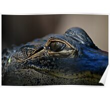 Young Gator in the Everglades  Poster