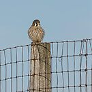 Kestrel On A Fence Pole by Thomas Young