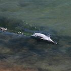 dolphin fishing in Peron National Park by loza1976