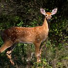 Fawn Times - White-tailed deer by Jim Cumming