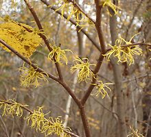 Witch Hazel by Ziporah Hildebrandt