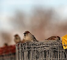 Fence Sparrows by Keala