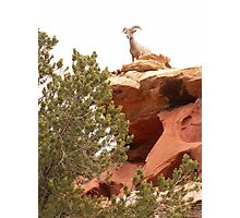 Big horn in Sink Canyon Photographic Print