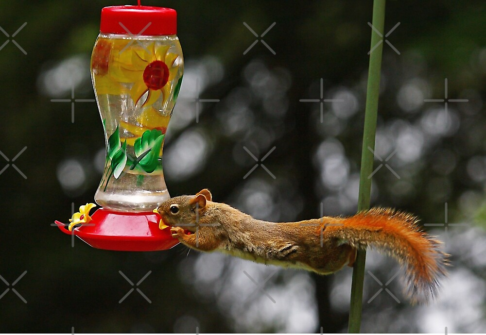 Now what do I do? - Red Squirrel by Jim Cumming